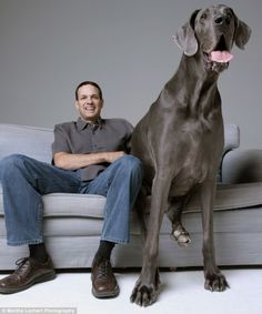 This Great Dane is the largest dog in the world at 7 ft. long, 250 lbs, and is afraid of chihuahuas.  >> WOW!
