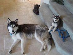 mini husky compared to regular husky | Alaskan Klee Kai
