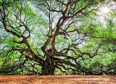 Angel Oak Tree Johns Island, South Carolina Trip Ideas tree plant vegetation ecosystem woody plant woodland nature reserve branch oak Forest grove flora leaf willow biome old growth forest grass trunk sunlight deciduous Jungle landscape shrubland temperate broadleaf and mixed forest plantation spring rainforest plant community root