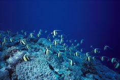 Malaysia, Sipadan Island, School Of Moorish Idols Over Reef, Blue Ocean. Poster Print (38 x 24)