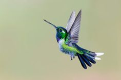 No other bird on Earth can stunt-fly like a hummingbird. They can fly forward or backward, hover, and even fly upside-down, and they do all of this so fast we can't even see it—beating their wings between 70 and 200 times per second. This power, precision, and agility allows them to reach speeds of up to 30 miles per hour while flying and 60 miles per hour while diving. Their mad flight skills have made them a subject of great scientific fascination and several weird experiments. - See more…