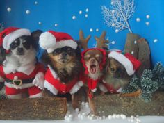 Kerst chihuahua,s