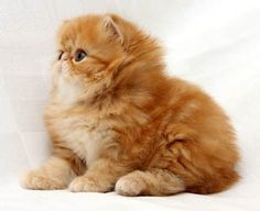 Persian Kittens I need a ginger persian cat in my life. The Animals, Cute Baby Animals, Cute Kittens, Cute Cats And Kittens, Pretty Cats, Beautiful Cats, Animals Beautiful, Simply Beautiful, Cool Cats