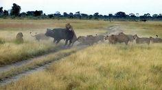Lion Kill at Little Makalolo Camp in Zimbabwe