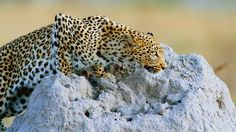 A Parasite, Leopards, and a Primate's Fear and Survival - The New York Times
