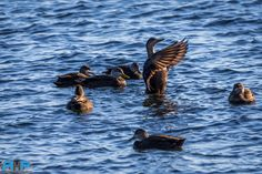 https://flic.kr/p/CVvbhQ | RHP_0253    Con-DUCK-tor at Point Pleasant Park - Best viewed Large at http://www.flickr.com/photos/sizzler68/ - © Rodney Hickey Photography 2016
