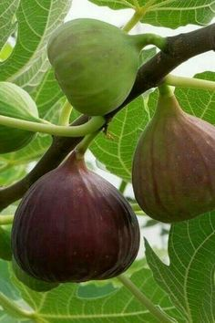 What you need to know about planting figs, fig tree care, & growing an indoor fig tree. Growing fig trees in containers is easy, and they're beautiful, too! Fig Fruit, Fruit And Veg, Fruit Trees, Fruits And Veggies, Fruit Plants, Palm Trees, Growing Fig Trees, Growing Plants, Growing Vegetables