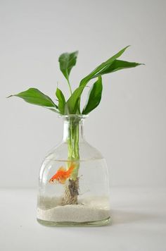 DIY: How to make a Hanging Aquarium out of recycled Patron bottles. I'd minus the poor lil fish, thats clearly not enough room for him to live :( Patron Bottle Crafts, Wine Bottle Crafts, Bottle Art, Patron Bottles, Patron Liquor, Alcohol Bottle Crafts, Patron Tequila, Indoor Water Garden, Indoor Plants