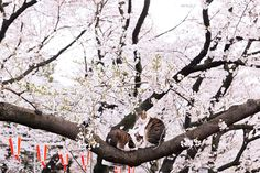 Sakura cats .)