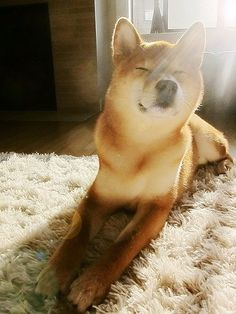 I will own a Shiba inu one day!!!