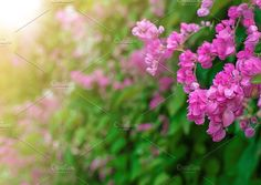 Mexican Creeper flower or Antigonon leptopus in the rays of the sunset sun. by IIrinaSS on @creativemarket