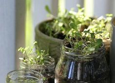 Think outside of the container (garden). By growing herbs in mason jars you can have garden fresh ingredients on hand and add some glassy style to your kitchen.
