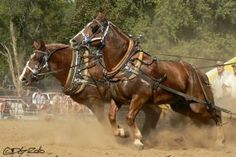A Belgian Pulling Team - Notice the heavy collar pads, the wide-faced 'pulling style' collars, and the reinforced tugs to handle the extreme forces being applied to the harness. Big Horses, Work Horses, Horses And Dogs, Horse Love, Animals And Pets, Black Horses, Horse Harness, Clydesdale Horses, Most Beautiful Animals