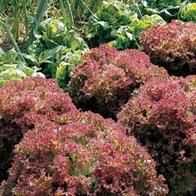 Lettuce Lollo Rossa. Sow March - Aug. Harvest: June - Oct. Towards front of border. Sun or part shade. Spread: 25cm. Sow direct in pots or seedtrays outside. Cover with netting or fleece to protect from bugs etc.  Sow successionally in seed trays, as soon as one crop of seedlings is up. H2