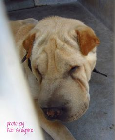 SAFE --- A4725375  my name is Dante. I am a 3 yr old male tan Chinese Sharpei. I came to the shelter as a stray on June 23. available 6/27/14 4275 Elton Street, Baldwin Park, California 91706 Phone 626 430 2378  https://www.facebook.com/photo.php?fbid=802539716424534&set=a.705235432821630&type=3&theater