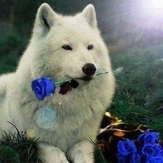 White wolf with rose Wolf Love, Raven And Wolf, Wolf Photos, Wolf Pictures, Lone Wolf Quotes, Animals And Pets, Cute Animals, Wolf Husky, Wolf Artwork