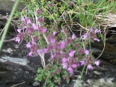 On a beach walk there was wild thyme on the rocks, but this pic was out of focus, like it anyway..