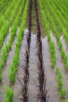Japanese rice field, two black stripes