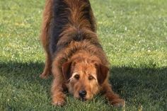 Bowing Airedale Mix - Fuse/Getty Images
