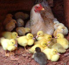 A galinha e seus pintinhos, e patinhos também.