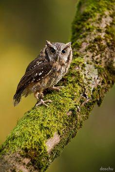 Tropical Screech Owl / Tropische Kreischeule by DaSchu.deviantart.com on @deviantART