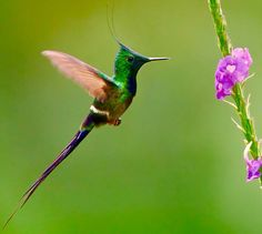 White Crested Thorntail Hummingbird
