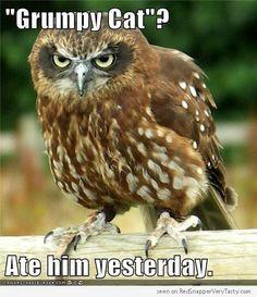grumpy cat halloween   Grumpy Owl - Grumpy Cat, Ate Him Yesterday