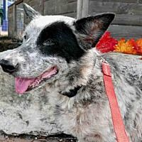Pictures of *FRIDA a Australian Cattle Dog Mix for adoption in Austin, TX who needs a loving home.