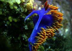 Flabellina iodinea  Sea slug  CC BY 2.0