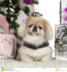 Pekingese, 6 Years Old, With Christmas Tree - Download From Over 51 Million High Quality Stock Photos, Images, Vectors. Sign up for FREE today. Image: 23567644