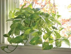 """Boston Fern  Palm Trees  Rubber Plant and """"Janet Craig"""" Dracaena  English Ivy  Peace Lily  Golden Pothos  Mums and Daisies"""
