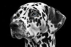 匹わんちゃん, 犬, 動物, 頭, 動物の肖像画, 犬の品種, 白黒, 犬の頭