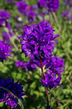 February - Violet Flower