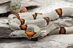 Lampropeltis alterna; Gray-banded Kingsnake