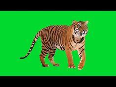 green screen tiger - YouTube Green Screen Video Backgrounds, Green Background Video, Iphone Background Images, Blur Photo Background, Hd Background Download, Light Background Images, Studio Background Images, Picsart Background, Photo Backgrounds