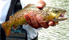 Italian brown trout