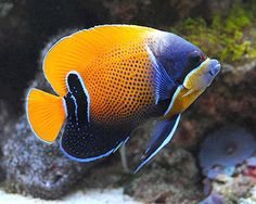 Ангел Наварры неоновый (Pomacanthus navarchus, Euxiphipops navarchus), L Saltwater Fish Tanks, Saltwater Aquarium, Aquarium Fish, Saltwater Angelfish, Tropical Fish Tanks, Freshwater Aquarium, Marine Aquarium, Marine Fish, Underwater Creatures