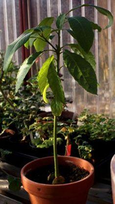 Att få en avokadokärna att gro är inte särskilt svårt. Resultatet blir en vacker exotisk växt som om man har tur kan blomma efter ett par år. För att få frukt behöver man dock en 'partner' eftersom...