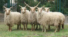 螺旋を描いて伸びるラセン角(ハンガリーの「ラツカ羊(ハンガリー語:Racka)」)