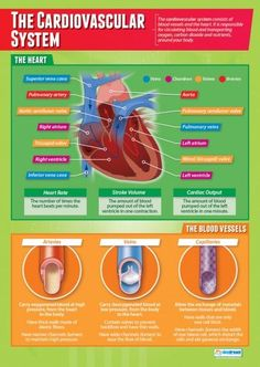 From our Physical Education poster range, The Cardiovascular System Poster is a great educational resource that helps improve understanding and reinforce learning. Biology Revision, Science Revision, Gcse Science, Science Biology, Physical Science, Physical Education, Revision Tips, Gcse Revision, Education Posters