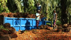 How regular people are fixing the international palm-oil industry | Grist