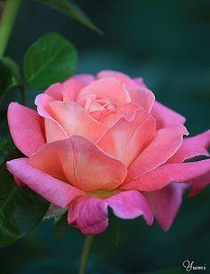 ~~ pink rose ~~