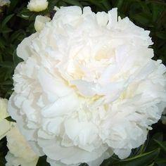 White Sarah Bernhardt2_124_465.jpg (597×597)