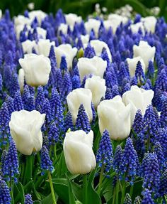 Blue and white flower bed