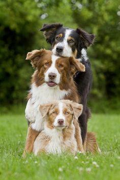 Aussie Group by DariaKusch...   #dog #pet #pup.
