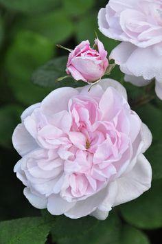 ~Fantin-Latour - Centifolia Rose