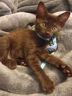 Havana Brown kitten. I have two of these. The breed has a lovely personality ..... they are both cuddled under my arms right now!