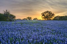 """""""Good Friday"""" Llano County, Texas    The sun sets over a field of spring wildflowers on Good Friday. Photograph by Gary Regner"""