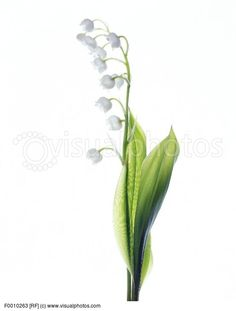 RepinLikeView Pic · Lily Of The Valley ...