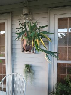 OCTOBER 1, 2012 Have a Look at Some of my Staghorn Fern Collection   This was a pup, detached from its parent and is now growing mounted on a wooden board.  It hangs on the house on a brass screw with strong picture wire attached to the backside of the board.